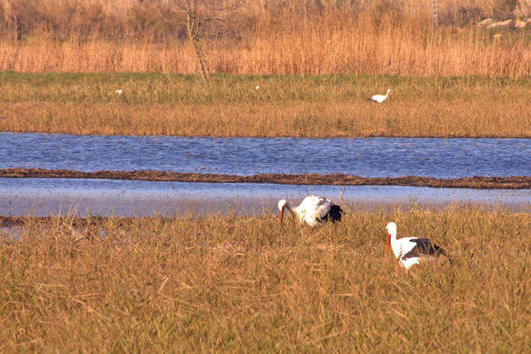 Several storks feeding